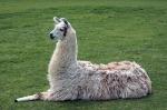 Llama lying down