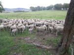 Superfine wool Merino ewes and lambs, Walcha, NSW
