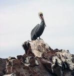 A pelican on the coast of El Vizcaino Biosphere Reserve