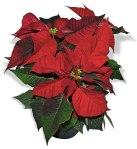 Red Poinsettia (Euphorbia pulcherrima)