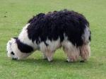 An unshorn Alpaca grazing