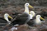 Waved Albatross (Phoebastria Irrorata) Español, Galapagos Islands